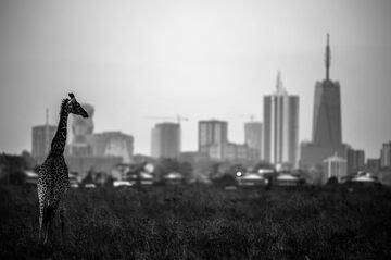 Nairobi on safari.